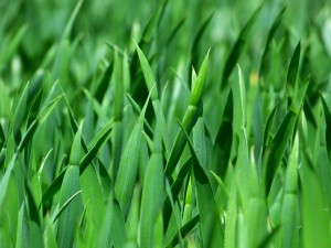 Alaska has a tricky environment for growing lush green yards. Our summers are short and require special treatment in order for the grass to thrive. With over 26 years of experience in Alaska, Arctic Green LLC can get your lawn green and keep it that way all season.
